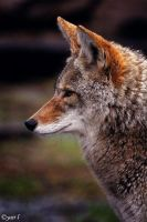 Coyote profile by Yair-Leibovich