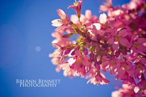 Blossoms 2 by BreAnn
