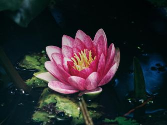 water lily 2 by CeaSanddorn