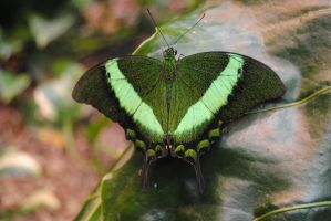 Emerald Swallowtail (Papilio palinurus) by fluffylink