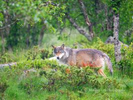 Where the wolves live the forest is healthy by Morgan-Lou