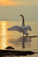 lb-175 swan by bstocked