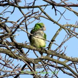 Monk Parakeet - Seaford, NY by peterkopher