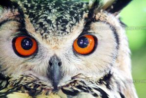 Bengal eagle owl stare 2 by InsaneGelfling