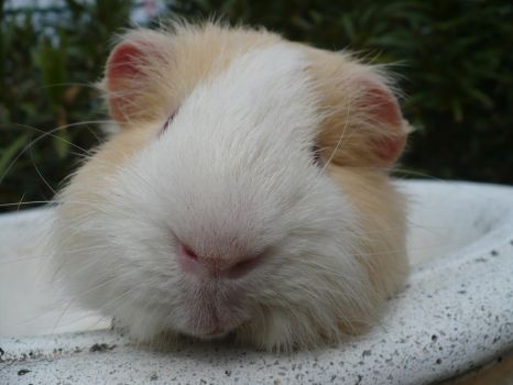 Guinea Pig (Cochon d'Inde) by NohlwaynKherVail