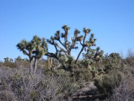 Joshua tree in Arizona by JasonYoungdale