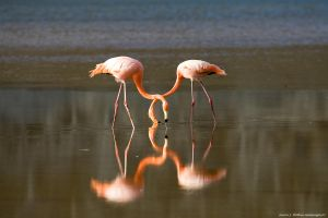 Flamingos With Crossed Necks 1 by photoboy1002001