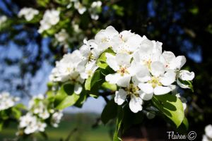 white cherry blossom by Flairen