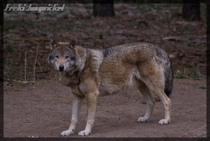 Wolf stance II by Wodenswolf