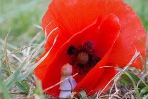 Lucius the poppy by naturegirlrocks