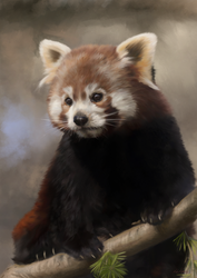 Red Panda Study by Tefrem34