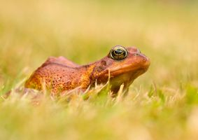 Red Common frog in grass by AngiWallace