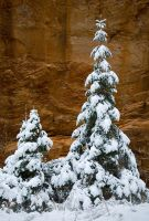 Snowy Trees - Zion by themobius