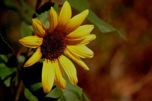 late sunflower by Pendragon-007