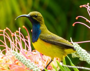 Sunbird On Grevillea by vanndra