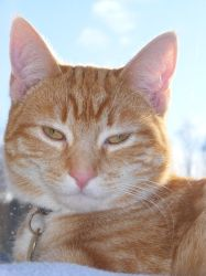 Ginger Cat 05 by Axy-stock