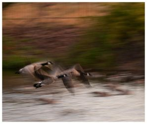 Canada Geese Take Off by madrush08