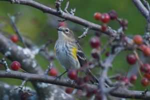 Yellow-Rumped Myrtle Warbler by HaleyGottardo