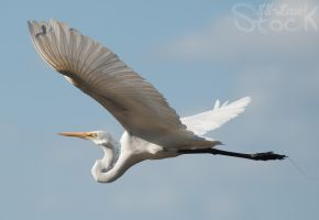 Egret 01 by 88-Lawstock
