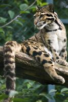 6895 - Clouded leopard by Jay-Co