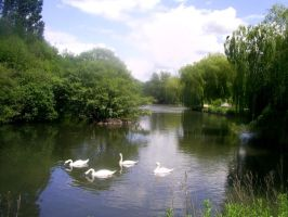 Four Swans - colour by WendyW