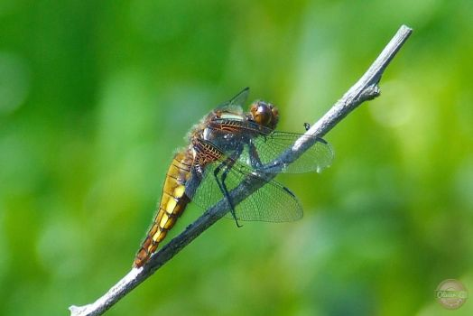 Dragonfly by Olivier-G