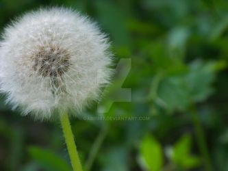Dandelion close-up by gabi1987