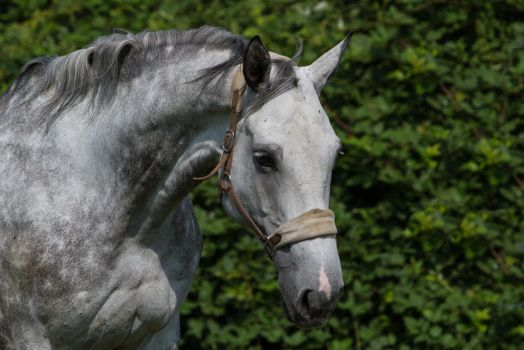 Beautiful Dappled Grey Mare on Paddock 25 by LuDa-Stock