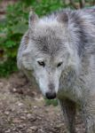 Canis Lupus III by Aenea-Jones