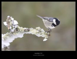 Marsh Tit by ClaudeG