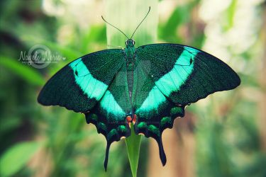 Emerald Peacock by NayeliNeria