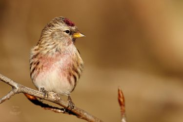 Common Redpoll -Sunset by JestePhotography