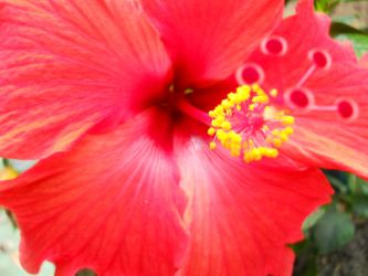 Red Hibiscus by evilpokejuggalette
