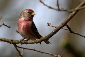 Redpoll 6-4-18 by pell21