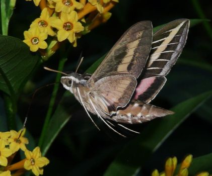 White-lined Sphinx moth by duggiehoo