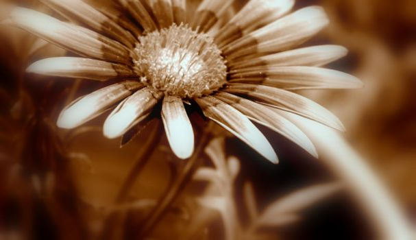 Sepia Flower II by Claire991