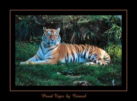 Proud Tiger by caracal