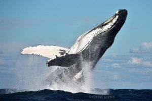 Humpback Whale by Oracle88