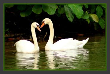 Swans by guanzy
