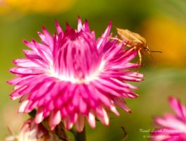 Shield bug on a summer flower by vertiser