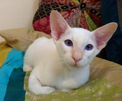 Red Point Siamese kitten by KateHodges
