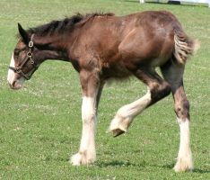 080 : Foal Kick by Nylak-Stock