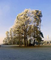 frosted tree by Mittelfranke