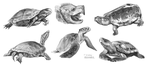 Sketches of turtles by AlaxendrA