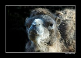 Camel by grugster