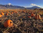 pumpkin patch 2 by yellowicous-stock