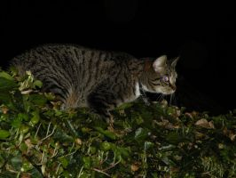 Cat On Our Hedge ! by JNW-Art