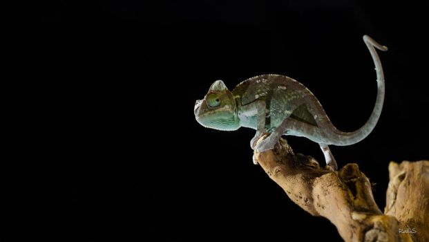 Cameleon Young chameleon by RailluS-90