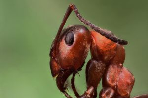 Red Wood Ant by Azph