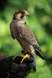 falcon by lichtschrijver
